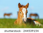 Foal Having A Rest In The...
