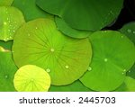 Green lily pads with dew - stock photo