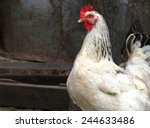 white chicken in a poultry yard | Shutterstock . vector #244633486