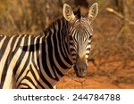 Portrait Of A Zebra In Kenya