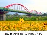 Cosmos Bipinnatus Flowersea In...