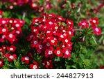 Red Verbena  Verbena Flowers