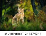 Eurasian Lynx In Forest With...