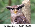 The Barred Eagle Owl  Bubo...