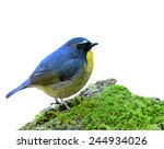 Snowy Browed Flycatcher  The...