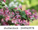blooming weigela in the garden... | Shutterstock . vector #244963978