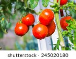 fresh tomato in the garden | Shutterstock . vector #245020180
