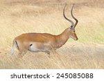 a male impala  aepyceros...   Shutterstock . vector #245085088