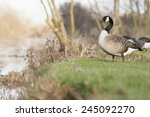Canada Geese Portraits Taken I...