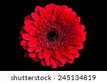 Bright Red Gerbera Flower ...