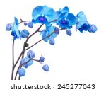 Stock photo orchid branch with blue flowers isolated on white background 245277043