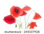 many red poppy flowers on a... | Shutterstock . vector #245337928