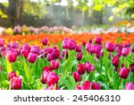 colorful tulips  tulips in... | Shutterstock . vector #245406310