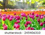 colorful tulips garden in spring | Shutterstock . vector #245406310