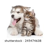 Stock photo alaskan malamute puppy hugging maine coon kitten isolated on white background 245474638
