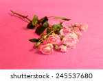 beautiful flower roses   for a... | Shutterstock . vector #245537680