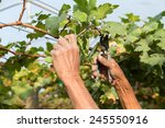 man pruning the grapevine... | Shutterstock . vector #245550916
