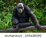 Common Chimpanzee Sitting Next...