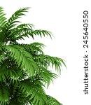 tropical plant fernleaf hedge... | Shutterstock . vector #245640550