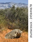 Small photo of American Badger, Taxidea taxus, coming out of burrow, Montana, United States, Captive situation