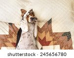 Stock photo treeing walker coonhound dog lying upside down sleeping on human bed with quilt looking relaxed 245656780