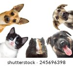 Stock photo kitten and puppy and guinea pig watching 245696398