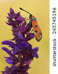 Small photo of day moth (Zygaena laeta) rest in the flower