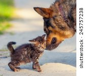 Stock photo best friends little kitten rubbing against bid dog outdoors 245757238