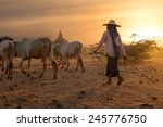 Burmese Herder Leads Cattle...