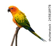 beautiful sun conure bird... | Shutterstock . vector #245818978