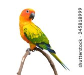Beautiful Sun Conure Bird...