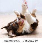Stock photo happy puppy lying on his back 245906719