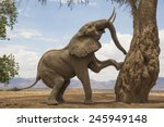 Tree Climbing African Elephant...