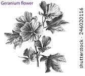geranium flower. hand drawn. | Shutterstock .eps vector #246020116