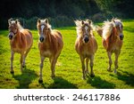 Four Galloping Haflinger Horse...