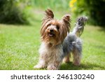 Yorkshire Terrier Playing In...