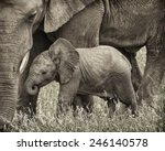 Baby Elephant And His Mother