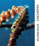 Small photo of Wire coral goby (gobiidae)