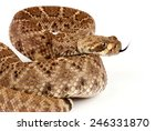 Closeup of a Western Diamondback Rattlesnake (Crotalus atrox) on white background.