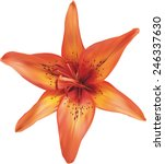 Orange Lily Flower On A White...