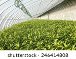 in the greenhouse  planted with ... | Shutterstock . vector #246414808