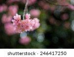 wild himalayan cherry | Shutterstock . vector #246417250