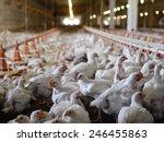 Poultry Farm  Aviary  Full Of...