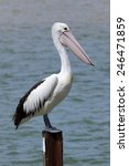 Pelican Standing At A Wooden...