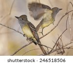 great crested flycatcher  two... | Shutterstock . vector #246518506