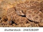 Closeup of a Western Diamondback Rattlesnake (Crotalus atrox).