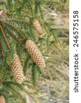 Small photo of Cones Norway Spruce (Picea Abies)