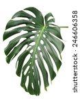 big green leaf of monstera... | Shutterstock . vector #246606358