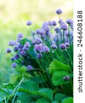 chive herb flowers on beautiful ... | Shutterstock . vector #246608188