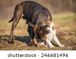 Stock photo american staffordshire terrier puppy playing with adult dog 246681496